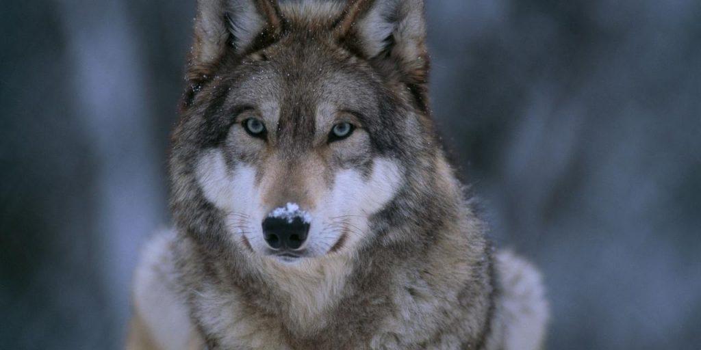 Loup_hierarchie_chien