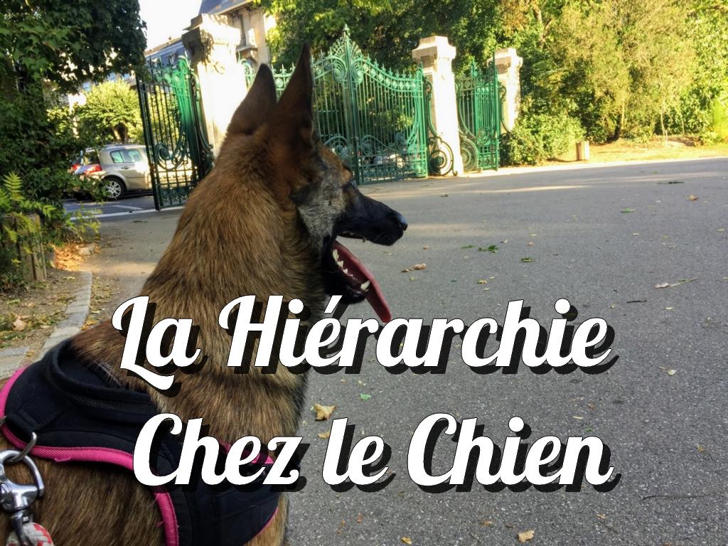 hierarchie_chien
